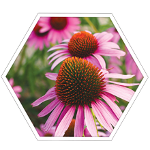 Echinacea Stem Cell Extracts